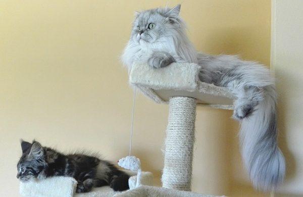 persian-cats-1720336_640