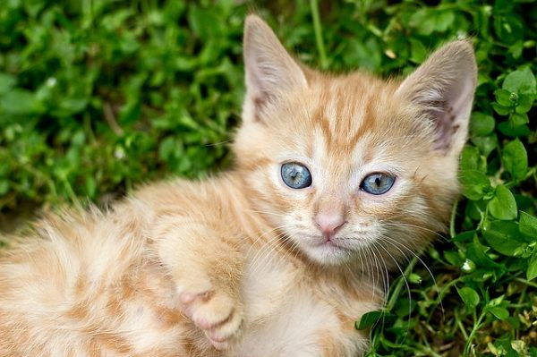 ginger-kitten-1492508_640