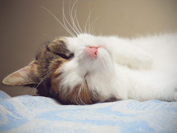 健康の秘訣!猫が喜ぶブラッシング方法とブラシの選び方