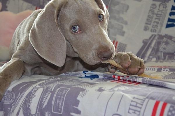 犬アレルギーでも犬を飼える?犬アレルギーの基礎知識
