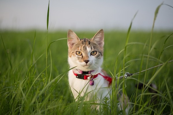 猫に散歩は必要?上手に散歩させたいときの注意点