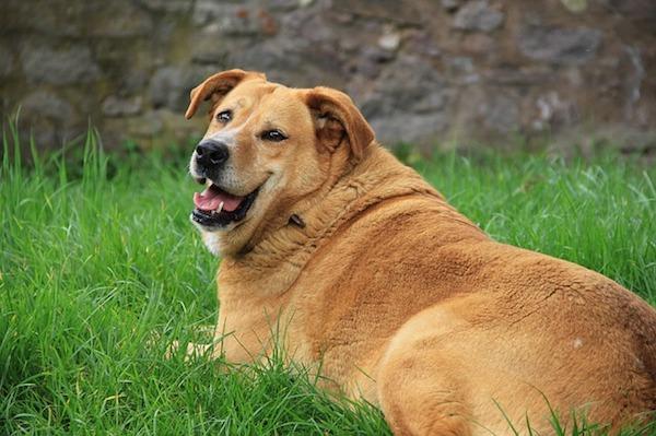 犬の肥満に気をつけよう!太らせない方法と体重管理